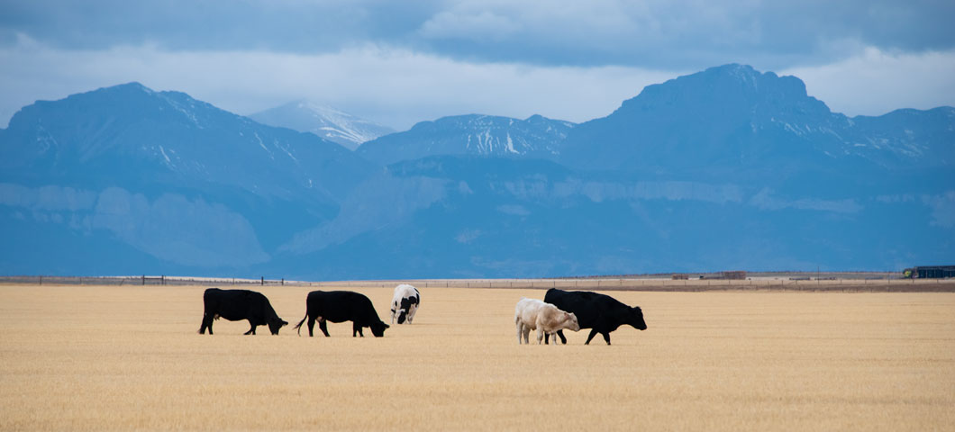 cows in open land with mountains in background